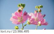 Купить «Purple pink meadow mallow flowers Malva close up», видеоролик № 23986495, снято 28 октября 2016 г. (c) Володина Ольга / Фотобанк Лори