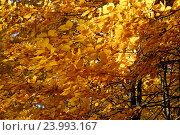 Купить «Золотисто жёлтые листья на дереве в контровом солнечном свете. Фокус на переднем плане», эксклюзивное фото № 23993167, снято 29 октября 2016 г. (c) Svet / Фотобанк Лори