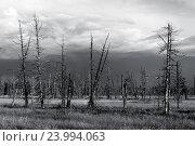 Сухие деревья в лесу на полуострове Ямал. Стоковое фото, фотограф Владимир Ковальчук / Фотобанк Лори