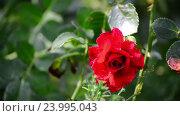 Купить «Red rose in drops of water after rain», видеоролик № 23995043, снято 28 октября 2016 г. (c) Володина Ольга / Фотобанк Лори