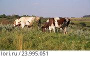 cow nibbling the grass in meadow. Стоковое видео, видеограф Володина Ольга / Фотобанк Лори