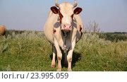 cow chews the grass and looking at camera. Стоковое видео, видеограф Володина Ольга / Фотобанк Лори