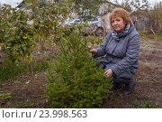 Купить «Женщина в саду у елочки», фото № 23998563, снято 22 октября 2016 г. (c) Акиньшин Владимир / Фотобанк Лори