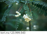 Купить «Рябина Кёне (Sorbus koehneana)», фото № 23999543, снято 6 сентября 2016 г. (c) Татьяна Белова / Фотобанк Лори