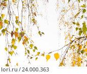Купить «На светлом фоне неба разбрызгана акварель осенних листьев берёзы, уходящие с перспективой в даль», фото № 24000363, снято 29 сентября 2015 г. (c) Нина Карымова / Фотобанк Лори