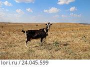 Черная коза на поле осенью. Стоковое фото, фотограф MARINA EVDOKIMOVA / Фотобанк Лори