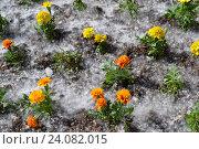 Оранжевые цветы в тополином пухе. Стоковое фото, фотограф Ирина Мещерякова / Фотобанк Лори