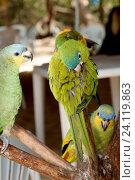 Bird, Periquitão Maracanã, Papagaio-do-mangue, Rio Preguiças, Vassouras, Maranhão, Brazil. Стоковое фото, фотограф Laurent Guerinaud / age Fotostock / Фотобанк Лори