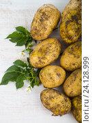 Купить «Raw potatoes with leaves», фото № 24128999, снято 3 июля 2016 г. (c) Елена Блохина / Фотобанк Лори