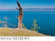 Купить «Россия,  Азия, Иркутская область, озеро Байкал, остров Ольхон. Ландшафт острова с деревьями, изувеченными молниями летних гроз и суровыми байкальскими ветрами.», эксклюзивное фото № 24129411, снято 5 июля 2016 г. (c) Александр Циликин / Фотобанк Лори