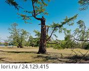 Купить «Россия,  Азия, Иркутская область, озеро Байкал, остров Ольхон. Ландшафт острова с деревьями, изувеченными молниями летних гроз и суровыми байкальскими ветрами.», эксклюзивное фото № 24129415, снято 5 июля 2016 г. (c) Александр Циликин / Фотобанк Лори