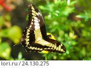 Дневная тропическая бабочка парусник тоас (лат. Papilio Thoas) Стоковое фото, фотограф Наталья Гармашева / Фотобанк Лори