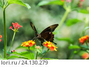 Купить «Дневная тропическая бабочка Парусник Палинур (лат. Papilio palinurus) порхает над  цветками лантаны (лат. Lantana)», фото № 24130279, снято 18 сентября 2012 г. (c) Наталья Гармашева / Фотобанк Лори