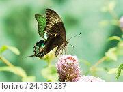 Купить «Дневная тропическая бабочка Парусник Палинур (лат. Papilio palinurus) собирает нектар на цветке Буддлеи Давида, или изменчивой (лат. Buddleja davidii)», фото № 24130287, снято 18 сентября 2012 г. (c) Наталья Гармашева / Фотобанк Лори