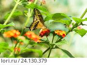 Купить «Дневная тропическая бабочка парусник тоас (лат. Papilio Thoas) лакомится нектаром на  ярких цветах лантаны  (лат. Lantana)», фото № 24130379, снято 18 сентября 2012 г. (c) Наталья Гармашева / Фотобанк Лори