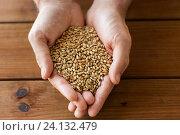Купить «male farmers hands holding malt or cereal grains», фото № 24132479, снято 6 сентября 2016 г. (c) Syda Productions / Фотобанк Лори