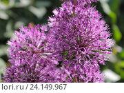 Купить «Лук голландский декоративный (Allium hollandicum), крупный план», эксклюзивное фото № 24149967, снято 12 мая 2016 г. (c) Ирина Водяник / Фотобанк Лори