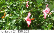 Купить «Hibiscus flowers swaying in the wind», видеоролик № 24150203, снято 1 ноября 2016 г. (c) Игорь Жоров / Фотобанк Лори