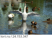 Купить «Белые лебеди и утки на воде. Средний Царицынский пруд. Царицынский парк. Москва», эксклюзивное фото № 24153347, снято 27 августа 2016 г. (c) lana1501 / Фотобанк Лори