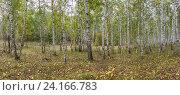 Березовый лес (панорама) Стоковое фото, фотограф Иван Железнов / Фотобанк Лори