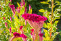 Красивые красные цветы на клумбе, фото № 24181311, снято 2 сентября 2016 г. (c) Sergei Gorin / Фотобанк Лори