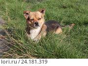 Купить «Портрет маленькой собаки, лежащей в густой зелёной траве», эксклюзивное фото № 24181319, снято 16 сентября 2016 г. (c) Ирина Водяник / Фотобанк Лори