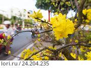 Купить «Blooming apricot tree, New Year symbol in Vietnam», фото № 24204235, снято 3 февраля 2016 г. (c) Александр Подшивалов / Фотобанк Лори