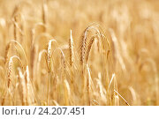 Купить «cereal field with spikelets of ripe rye or wheat», фото № 24207451, снято 31 июля 2016 г. (c) Syda Productions / Фотобанк Лори