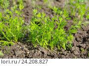 Купить «Молодая морковь на грядке», эксклюзивное фото № 24208827, снято 2 июня 2016 г. (c) Елена Коромыслова / Фотобанк Лори