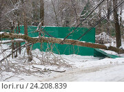 Купить «Последствия ледяного дождя. Дерево упало на электрические провода», эксклюзивное фото № 24208839, снято 11 ноября 2016 г. (c) Елена Коромыслова / Фотобанк Лори