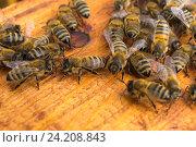 Жизнь пчел. Рабочие пчелы. Стоковое фото, фотограф Оксана Владимировна Грачева / Фотобанк Лори