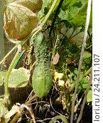 Купить «Выращивание огурцов в парнике на дачном участке», эксклюзивное фото № 24211107, снято 23 августа 2016 г. (c) lana1501 / Фотобанк Лори