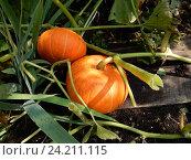 Купить «Выращивание тыквы в открытом грунте на дачном участке», эксклюзивное фото № 24211115, снято 20 августа 2016 г. (c) lana1501 / Фотобанк Лори