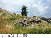 Купить «Одинокая ель в горах Черногории, Цетине», эксклюзивное фото № 24211459, снято 24 июля 2015 г. (c) Алексей Гусев / Фотобанк Лори