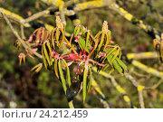 Купить «Соцветия и молодые листья каштана (лат. Castanea)», фото № 24212459, снято 18 апреля 2016 г. (c) Сергей Трофименко / Фотобанк Лори