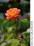 Роза чайно-гибридная Филипп Нуарэ (лат. Philippe Noiret), Meilland. Стоковое фото, фотограф lana1501 / Фотобанк Лори
