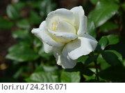 Купить «Роза чайно-гибридная Силвер Эннивесэри (лат. Silver Anniversary)», эксклюзивное фото № 24216071, снято 17 июля 2015 г. (c) lana1501 / Фотобанк Лори
