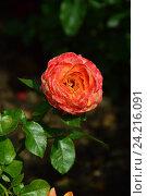 Купить «Роза чайно-гибридная Кен Симондс (лат. Ken Simmonds), Fryers Roses», эксклюзивное фото № 24216091, снято 17 июля 2015 г. (c) lana1501 / Фотобанк Лори