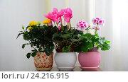 Купить «cyclamen, rose and geranium in white interior», видеоролик № 24216915, снято 14 ноября 2016 г. (c) Володина Ольга / Фотобанк Лори