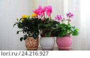 Купить «cyclamen, rose and geranium in white interior», видеоролик № 24216927, снято 14 ноября 2016 г. (c) Володина Ольга / Фотобанк Лори