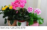 Купить «cyclamen, rose and geranium in white interior», видеоролик № 24216979, снято 14 ноября 2016 г. (c) Володина Ольга / Фотобанк Лори