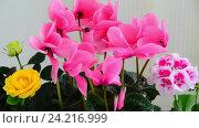 Купить «Beautiful flowers of cyclamen, rose and geranium», видеоролик № 24216999, снято 14 ноября 2016 г. (c) Володина Ольга / Фотобанк Лори