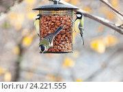 Купить «Синица большая. Great Tit (Parus major).», фото № 24221555, снято 7 ноября 2012 г. (c) Василий Вишневский / Фотобанк Лори