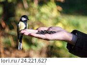 Купить «Синица большая. Great Tit (Parus major).», фото № 24221627, снято 25 сентября 2010 г. (c) Василий Вишневский / Фотобанк Лори