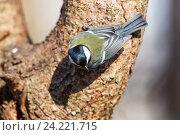 Купить «Синица большая. Great Tit (Parus major).», фото № 24221715, снято 1 марта 2014 г. (c) Василий Вишневский / Фотобанк Лори