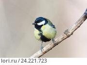 Купить «Синица большая. Great Tit (Parus major).», фото № 24221723, снято 1 марта 2014 г. (c) Василий Вишневский / Фотобанк Лори