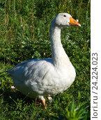Портрет белого гуся на траве. Стоковое фото, фотограф Иван Гусев / Фотобанк Лори