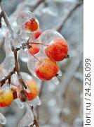 Купить «Обледеневшие яблоки после ледяного дождя крупным планом», фото № 24226099, снято 13 ноября 2016 г. (c) Елена Коромыслова / Фотобанк Лори