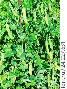 Купить «Зеленый горошек (pisum) на грядке», фото № 24227631, снято 25 июля 2015 г. (c) Зобков Георгий / Фотобанк Лори