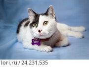 """Черно-белый кот в ошейнике, с надписью """"позвоните хозяину"""" на адреснике. Стоковое фото, фотограф Елена Олешко / Фотобанк Лори"""